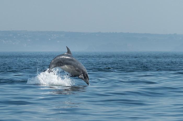 Molène - Les célèbres dauphins de la Mer d'Iroise - Emmanuel Berthier