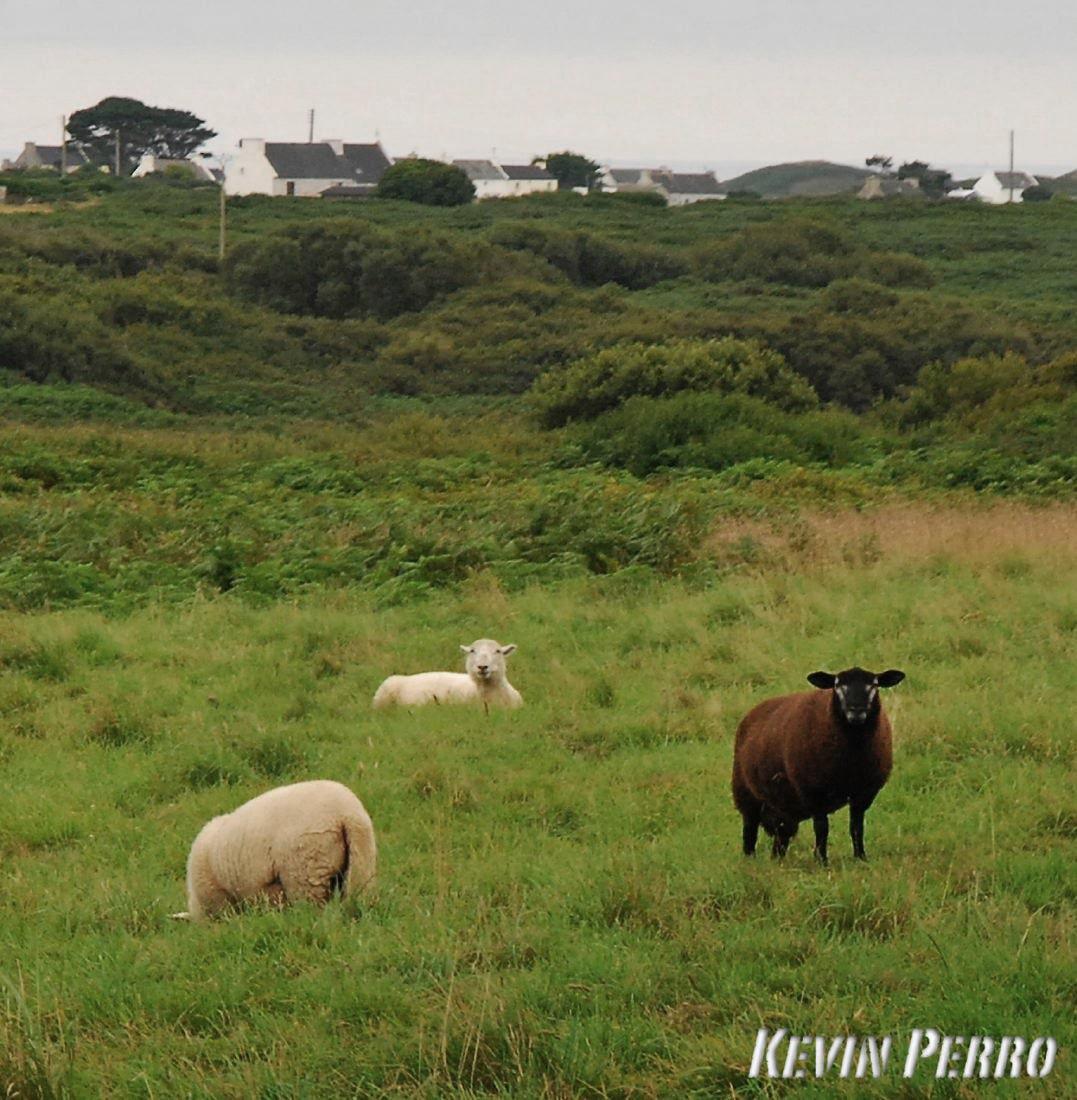 mouton noir ouessant