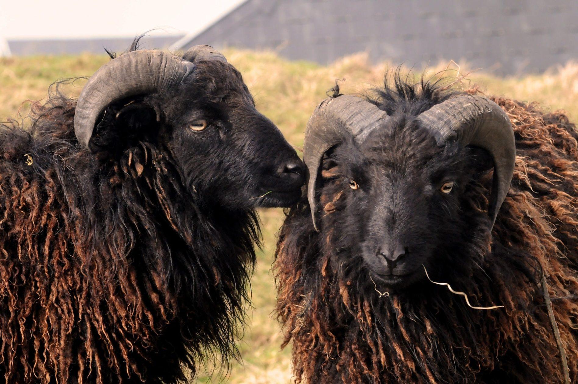Mouton-noir-Ouessant