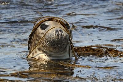 Phoque Gris mammifères marins mer iroise