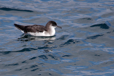 Fulmar boréal oiseau mer iroise