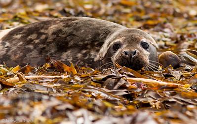 phoque gris en mer d iroise mammifères marins mer iroise