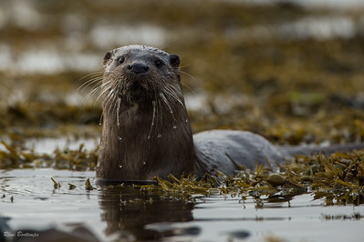 Loutre d'Europe mammifères marin mer iroise