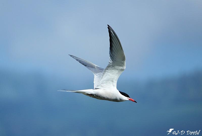 sterne pierregarrin oiseau en mer d iroise