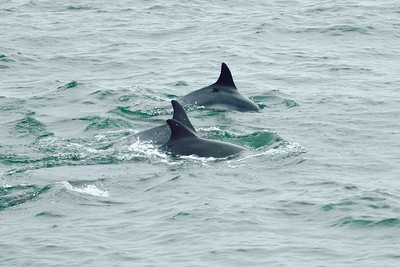 Marsouins mammifères marins mer iroise