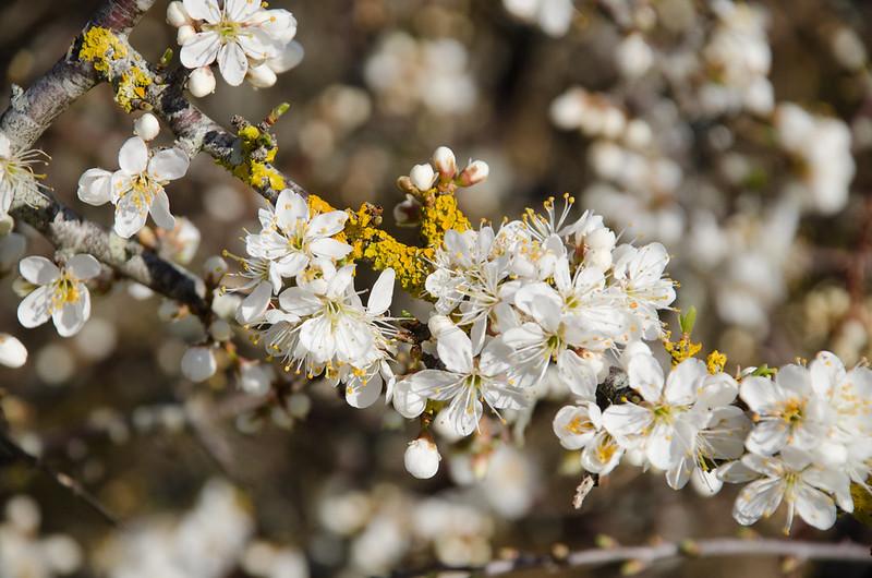 prunellier blanc et lichen